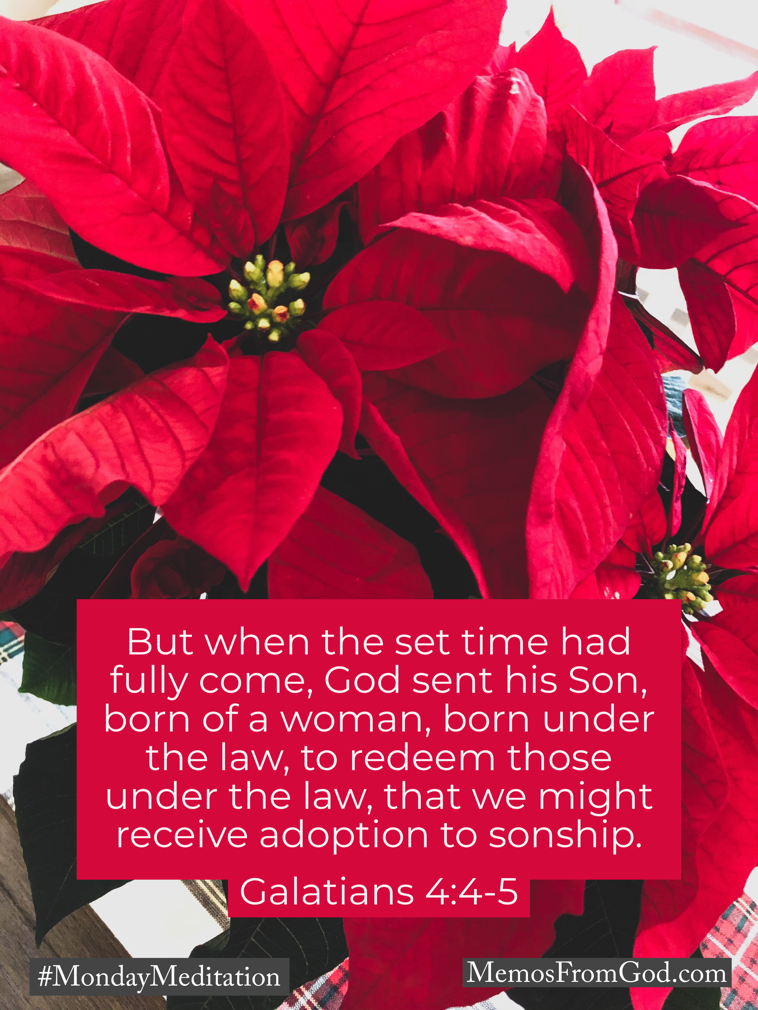 A bright red poinsettia. Caption: But when the set time had fully come, God sent his Son, born of a woman, born under the law, to redeem those under the law, that we might receive adoption to sonship. Galatians 4:4-5